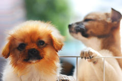 Two puppies. Two sandy beige little dog,fluffy puppies Royalty Free Stock Images