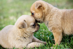 Two puppies. Two cute puppies playing in the grass Stock Image