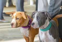 Two puppies of the American staffordshire terrier. Blue and red puppies of the American Staffordshire terrier royalty free stock photos