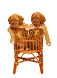 Two puppies, in armchair. Stock Photos