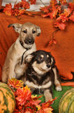 Two puppies on autumn background Stock Photos