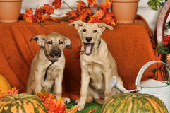 Two puppies on autumn background Royalty Free Stock Photo
