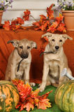 Two puppies on autumn background Stock Photography