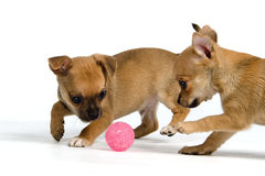 Two puppies with ball Royalty Free Stock Images