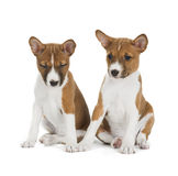 Two puppies Basenji. Isolated on white background Royalty Free Stock Photography
