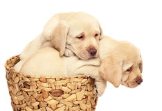 Two puppies in a basket. Two puppies of breed Labrador a retriever in a basket. Puppies on a white background Royalty Free Stock Photography