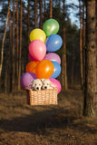 Two puppies in a basket with air balloons. Two golden retriever puppies flying in a basket Stock Photo