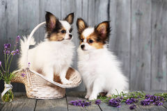 Two puppies in the basket Royalty Free Stock Image