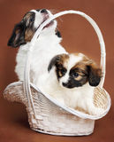 Two puppies in a basket Stock Image