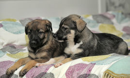 Two puppies. On the bed Royalty Free Stock Photo