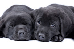 Two puppies black labrador. Retriever, one sleeps, another looks Stock Images