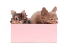 Two Puppies in a Box Stock Photography