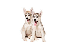 Two puppies breed the Huskies isolated on white background Royalty Free Stock Images
