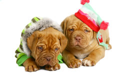 Two puppies of breed a mastiff. Royalty Free Stock Photos