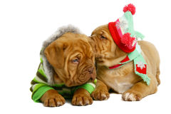 Two puppies of breed a mastiff. Stock Photo