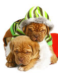 Two puppies of breed a mastiff. Royalty Free Stock Photo