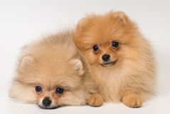 Two puppies of breed a Pomeranian spitz-dog in studio Stock Photo