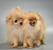 Two puppies of breed a Pomeranian spitz-dog in studio. On a neutral background Royalty Free Stock Images