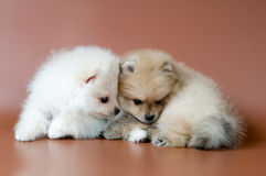 Two puppies of breed a spitz-dog Stock Photo