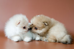 Two puppies of breed a spitz-dog Royalty Free Stock Photos