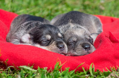 Two Puppies. Two charming little sweet puppy sleeping in the sun royalty free stock photo
