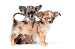 Two puppies chihuahua Stock Photo