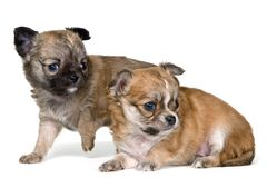 Two puppies of the chihuahua Stock Photos