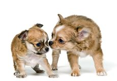 Two puppies of the chihuahua Royalty Free Stock Photography