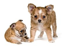 Two puppies of the chihuahua Stock Images