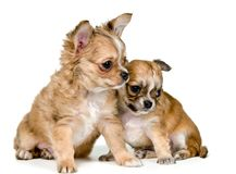 Two puppies of the chihuahua Royalty Free Stock Photos