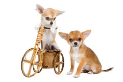 Two puppies chihuahua Royalty Free Stock Image