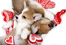 Two puppies corgi sleep. In each other's arms Royalty Free Stock Image