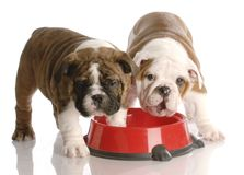 Two puppies at a dog food dish. Two nine week old english bulldogs puppies and a red dog food dish Stock Photo