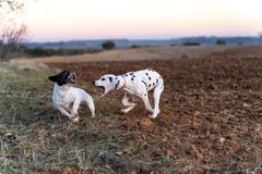 Two puppies dogs playing in the field at sunse. royalty free stock photography