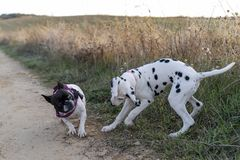 Two puppies dogs playing in the field at sunset. royalty free stock photography