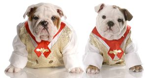 Two puppies dressed in shirt and tie Royalty Free Stock Image