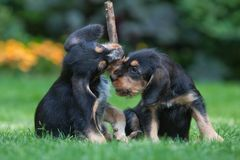Two puppies fighting for the stick Stock Images