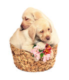 Two puppies with a flowers. Two puppies of breed Labrador of retriever in a basket. Puppies on a white background with a flower Stock Photos