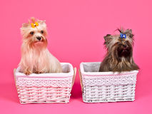 Two puppies girl and boy inside baskets Stock Photo