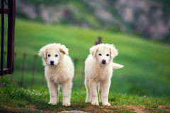 Two puppies of Great Pyrenean Mountain Dog. Outdoors. Livestock guardian dog Royalty Free Stock Image