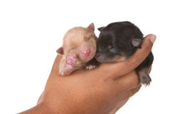 Two Puppies in a Hand on White Royalty Free Stock Photos