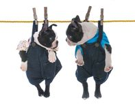 two puppies hanging on the clothesline royalty free stock photography