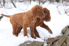 Two puppies of Hungarian Pointing Dog in winter