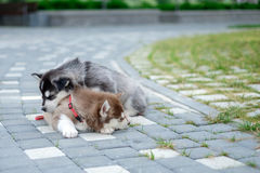 Two puppies Husky. Litter dogs sleeping on the street.  Stock Image