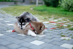 Two puppies Husky. Litter dogs sleeping on the street.  Royalty Free Stock Photography