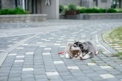 Two puppies Husky. Litter dogs sleeping on the street stock images