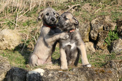 Two puppies of Irish Wolfhound in the garden Royalty Free Stock Image