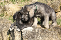 Two puppies of Irish Wolfhound in the garden Stock Photos