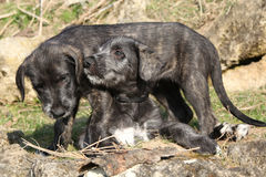 Two puppies of Irish Wolfhound in the garden Stock Image