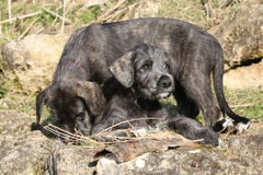 Two puppies of Irish Wolfhound in the garden Royalty Free Stock Images